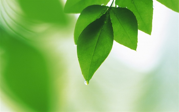 11 Soft Focus Green Leaves Pictures-Ethereal Green Leaves photos  Views:11654