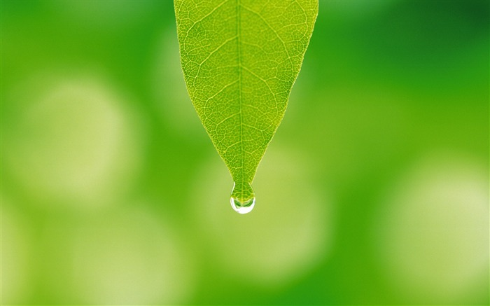 15 photo-A water drop hanging on leaf tip-Dewdrop on green leaf photo  Views:22700