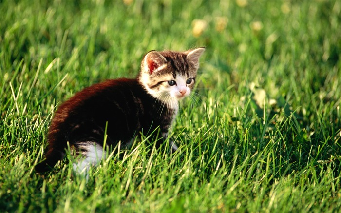short hair cat wallpaper 1366x768 - photo #35