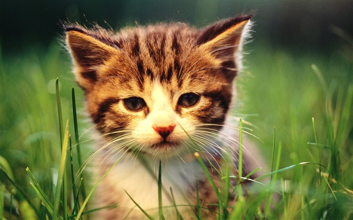 Sweet Kitty-Adorable Fluffy Baby Kittens Wallpapers Views:13707