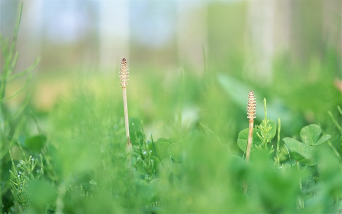35 Soft Focus Horsetail Photo-Soft Dreamy Horsetails in field Photos  Views:3311