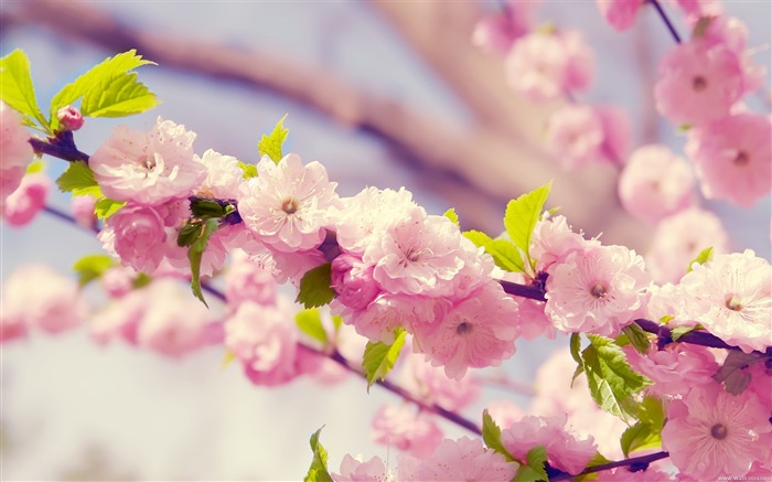 Spring cherry blossoms wallpaper Views:24850