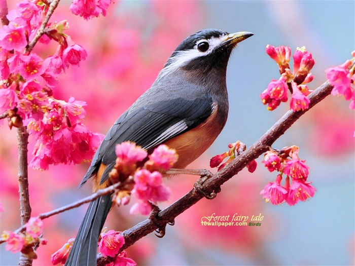 Jeu de saison ! White-eared_thrush_Spring_cute_bird_wallpaper_medium
