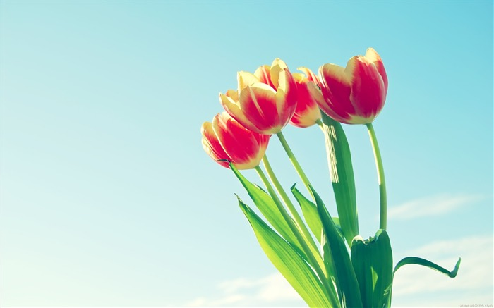 under the blue sky red tulip wallpaper Views:10131