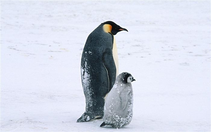 北极企鹅 动物世界系列壁纸 壁纸预览高清图片