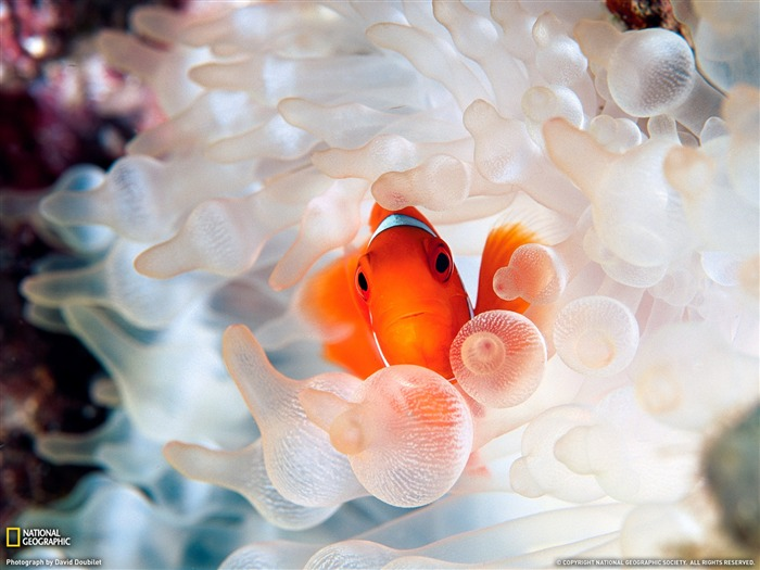 Clownfish and Bubble-Tipped Anemone- National Geographic wallpaper selected Views:8584 Date:9/10/2011 3:57:51 AM