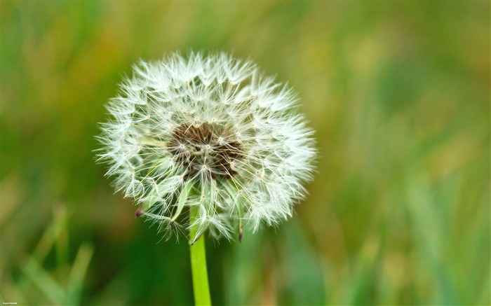 Dandelion-Nature Landscape wallpaper selected Views:6867 Date:9/28/2011 12:49:11 AM