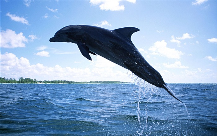 Dolphin Diving-Animal World Series Wallpaper Views:7378