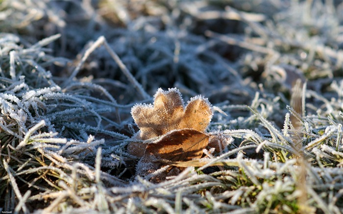 Frost leaves-Nature Landscape wallpaper selected Views:7794 Date:9/28/2011 12:23:14 AM