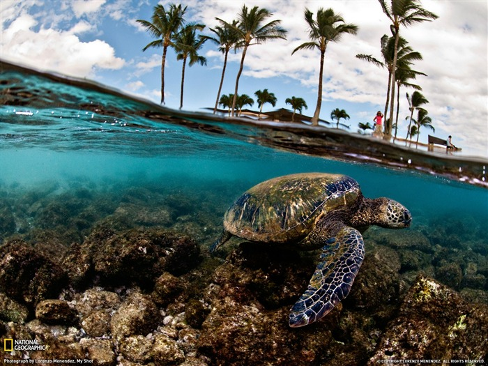 Green Sea Turtle-Hawaii- National Geographic wallpaper selected Views:17890 Date:9/10/2011 3:40:57 AM
