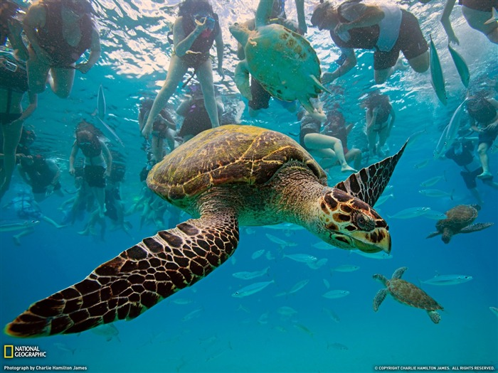 Hawksbill turtles - Barbados- National Geographic wallpaper selected Views:19472 Date:9/10/2011 3:44:00 AM