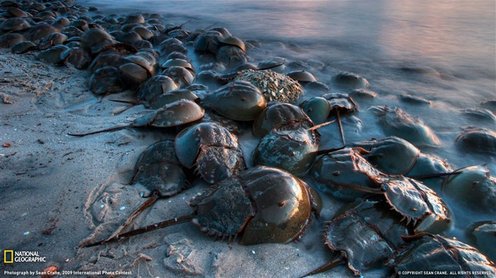 Horseshoe crab- National Geographic wallpaper selected Views:12228 Date:9/10/2011 3:48:20 AM