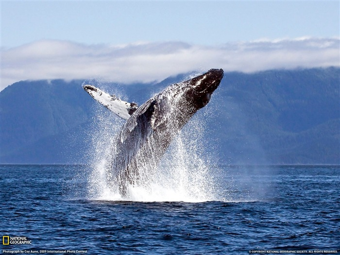Humpback Whale-Chatham Straight- National Geographic wallpaper selected Views:16169 Date:9/10/2011 3:58:48 AM