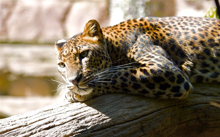 Leopard territory-Animal World Series Wallpaper Views:6524
