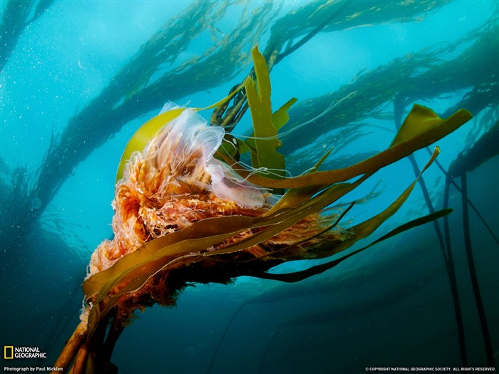 Lion Mane Jellyfish - National Geographic wallpaper selected Views:9917 Date:9/10/2011 3:52:42 AM