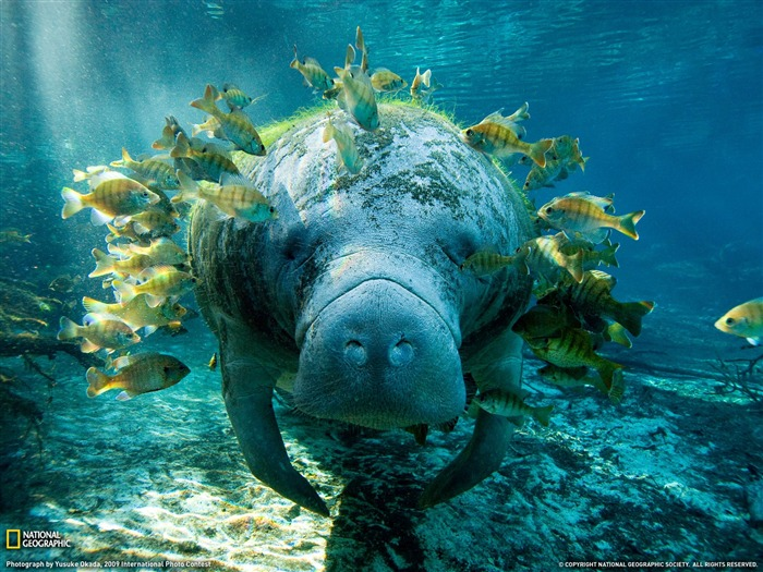 Manatee and Fish- National Geographic wallpaper selected Views:22277 Date:9/10/2011 3:46:47 AM
