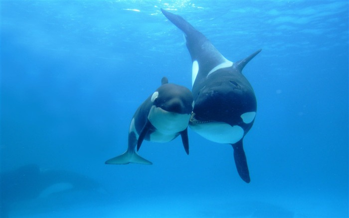 Orca Killer Whale Under Sea-Animal World Series Wallpaper Views:38155