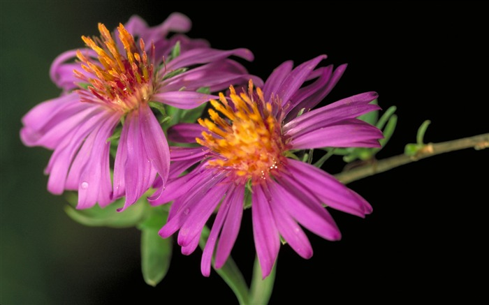 Pair of pink daisy-Summer romance Feelings Views:5817