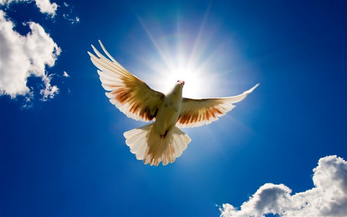 Peace dove flying in the sky-Animal World Series Wallpaper Views:30873