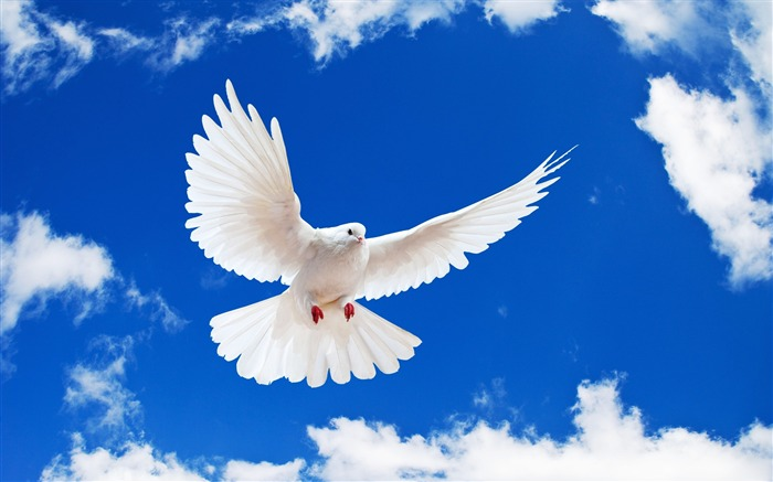 Pure Dove-Animal World Series Wallpaper Views:14751