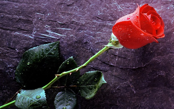 Red Rose-Summer romance Feelings Views:6478 Date:9/8/2011 6:37:23 AM