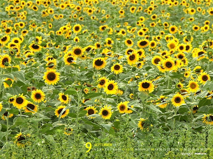 September-Calendar-Sunflower wallpaper 01 Views:6166 Date:9/2/2011 5:42:08 AM
