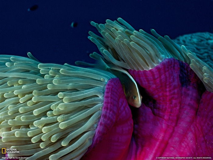Skunk Clownfish and Sea Anemone- National Geographic wallpaper selected Views:5633 Date:9/10/2011 3:56:48 AM