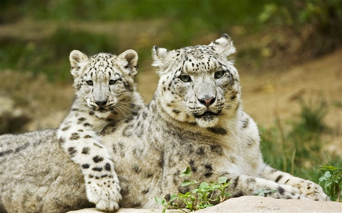 Snow Leopard Mother and Cub-Animal World Series Wallpaper Views:8749