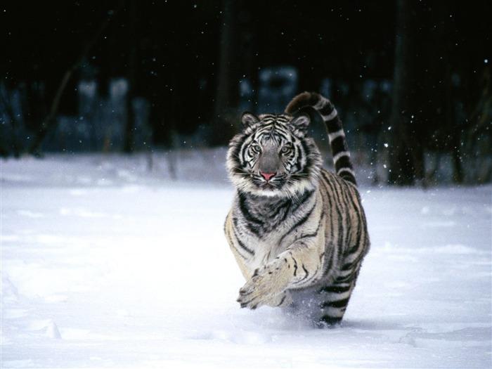 雪地奔跑的老虎-动物世界系列壁纸