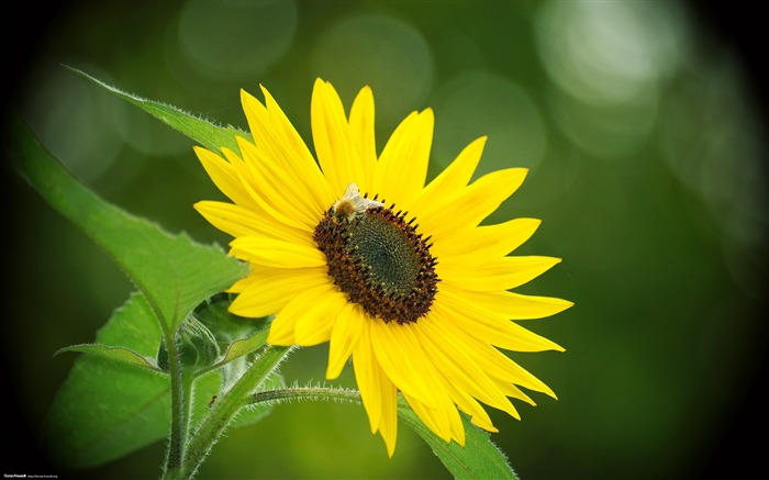 Sunflower-Nature Landscape wallpaper selected Views:7704 Date:9/28/2011 12:44:27 AM
