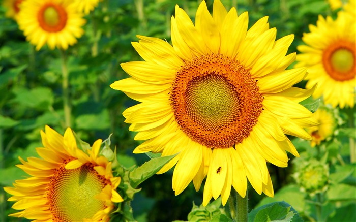 Sunflower-Summer romance Feelings Views:6412