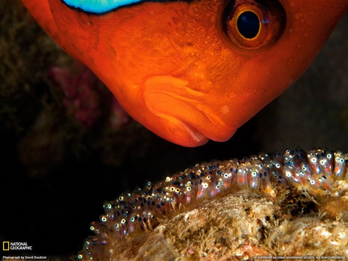 Tomato Clownfish- National Geographic wallpaper selected Views:6775 Date:9/10/2011 3:44:43 AM