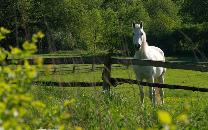 White Horse-Nature Landscape wallpaper selected Views:12728 Date:9/28/2011 12:47:27 AM