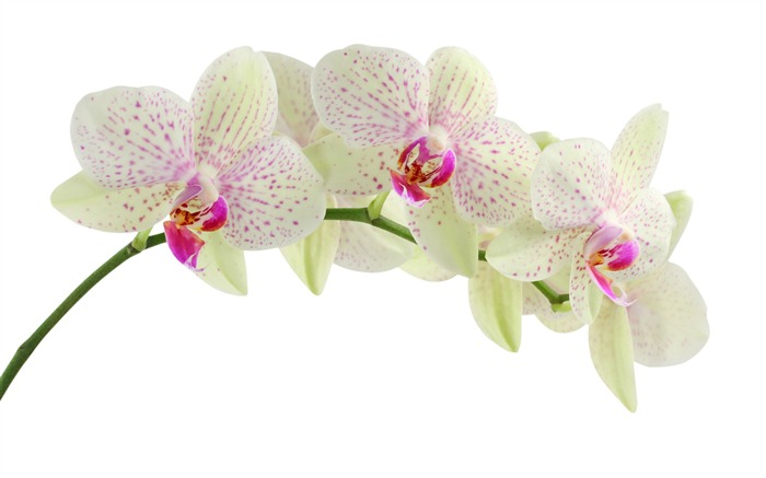White orchids-September flowers wallpaper Views:32566 Date:9/2/2011 7:00:14 AM