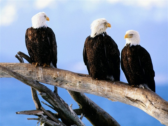 Wild and Free Bald Eagles-Animal World Series Wallpaper Views:5246