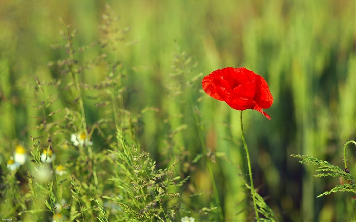 dark red poppy-Nature Landscape wallpaper selected Views:6304 Date:9/28/2011 12:39:31 AM
