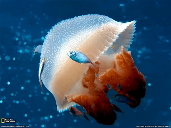 mosaic jellyfish- National Geographic wallpaper selected Views:17859 Date:9/10/2011 3:47:35 AM