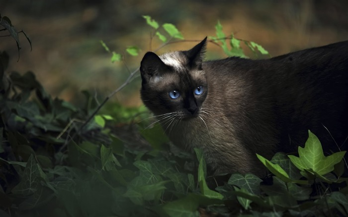 Black Cat with Blue Eyes-Cute little kitty cat living wallpaper Views:20626