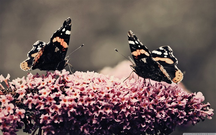 Dance - beautiful butterfly - Desktop Wallpaper Album Views:9854