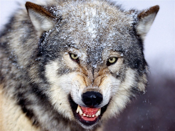Mad Wolf-Animal Desktop Wallpaper selected Views:18565