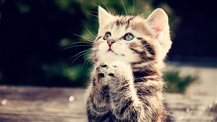 かわいい子猫の高画質画像まとめ【マンチカン・アメリカンショートヘア・ロシアンブルー】