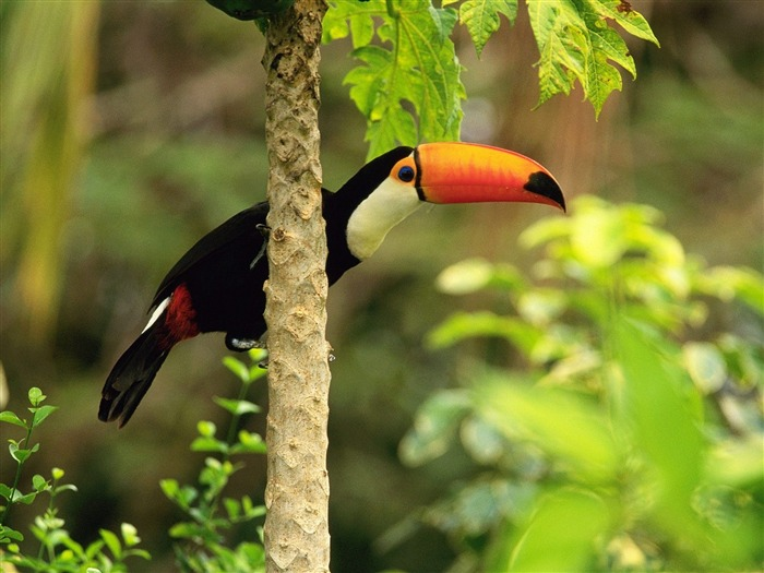 Toco Toucan in the Tropical Forest-Animal Desktop Wallpaper selected Views:20880
