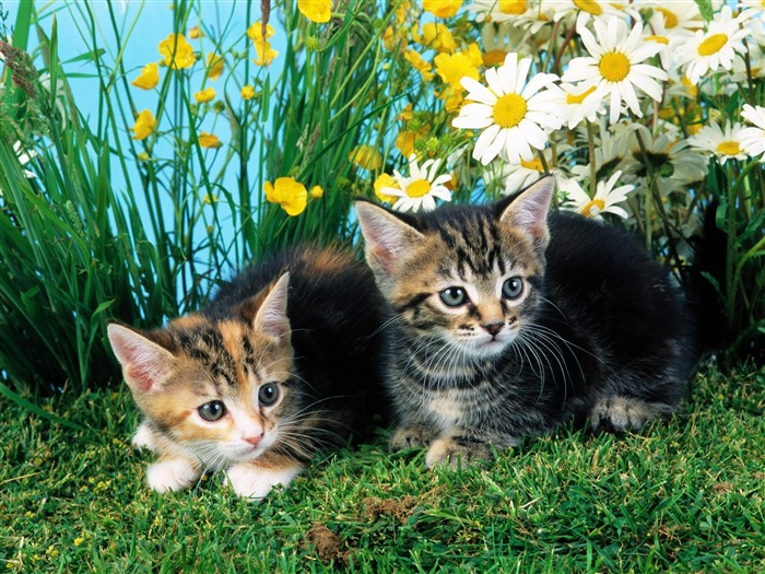 Two cats-Cute little kitty cat living wallpaper Views:14747
