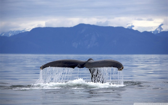 alaska humpback whale-The mysterious world of the sea Desktop Wallpapers Views:9662