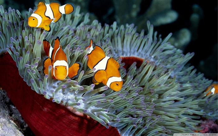 clown fish-The mysterious world of the sea Desktop Wallpapers Views:35610