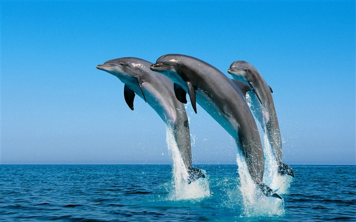dolphins-The mysterious world of the sea Desktop Wallpapers Views:43216