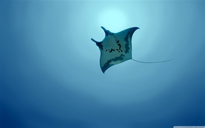 manta ray-The mysterious world of the sea Desktop Wallpapers Views:9163