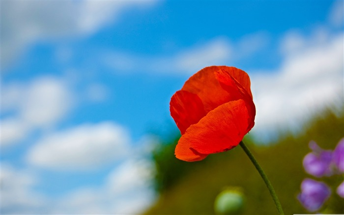 a lone red poppy-Colorful-Flowers Wallpaper Photo Views:9894