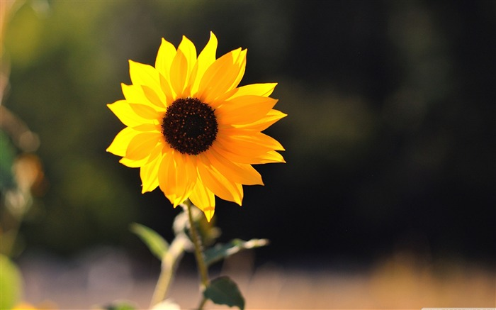 beautiful sunflower-Colorful-Flowers Wallpaper Photo Views:6874