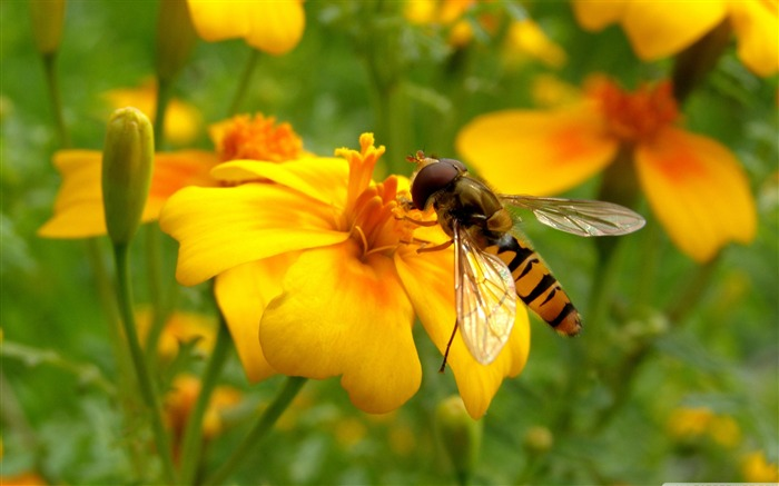 bee on a flower-Colorful-Flowers Wallpaper Photo Views:5316